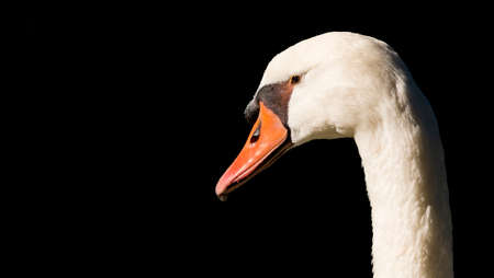 volatile: Swan photographed in its environment Stock Photo