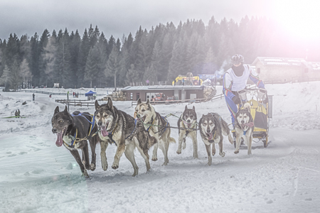 sled dogs: Race of sled dogs on the Italian alps