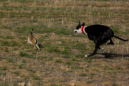 Greyhound after the hare on a hunt