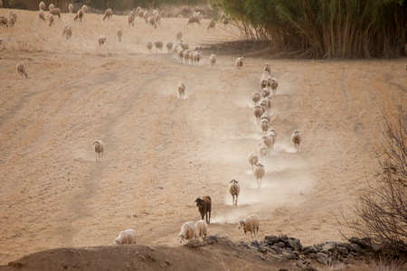 sheep walking among dust in spain a summer day Stock fotó