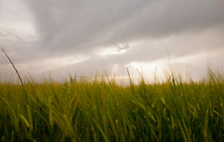green wheat with clouds in the background and reflections of the sun Reklamní fotografie