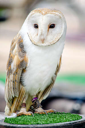ringed barn owl (Tyto alba) at a medieval fair (in captivity)