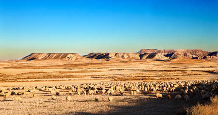 Rural landscape with flock of sheep in the desert photo
