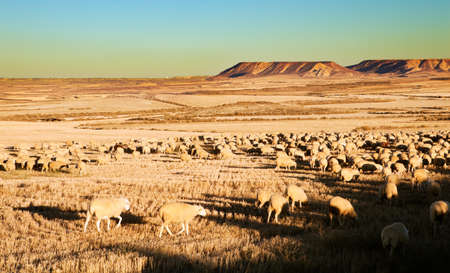 Rural landscape with flock of sheep in the desert Stock Photo
