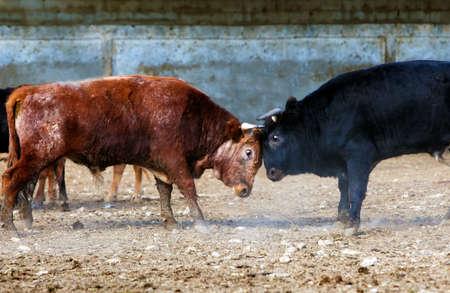 brute: fighting bulls on a farm
