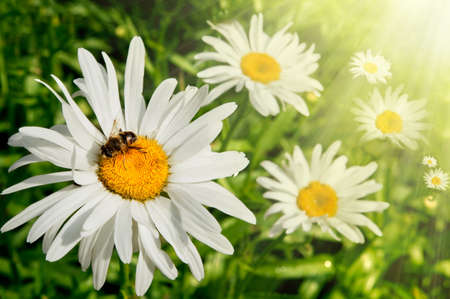 field of daisies with sunshine and bee photo
