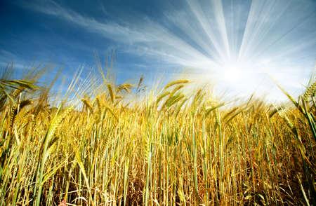 Idyllic wheat field and sunshine photo