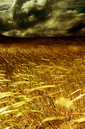 dark clouds: Storm in the harvest field. Wheat field moved through the air
