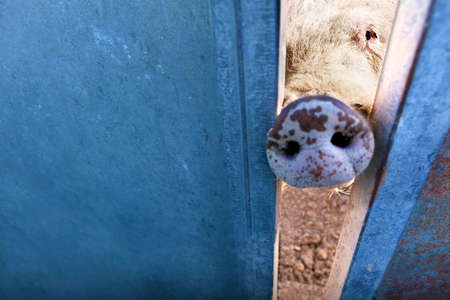 pig nose: Farm animals. Pig nose behind the fence Stock Photo