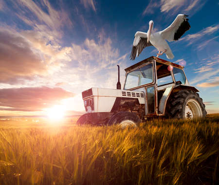 wheat: Wheat  fields, exotic birds and tractor.Rural travel concept Stock Photo