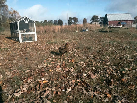 Brown chicken walking across leaf strewn yard past empty coop Imagens