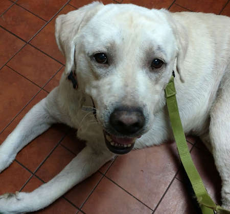 White block-head English style Labrador with black nose laying on red tile floor
