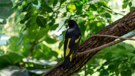 Golden winged cacique cacicus chrysopterus standing on tree branch looking to side off camera