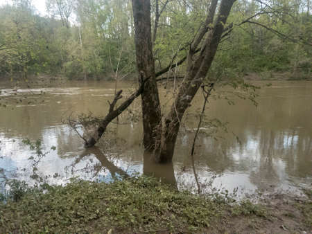 Partially submerged white oak trees on bank of flooded river after spring storm
