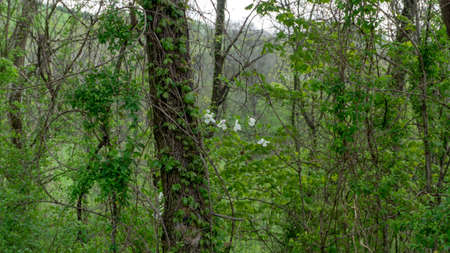 White oak tree quercus alba covered with green kudzu vines and white flowers