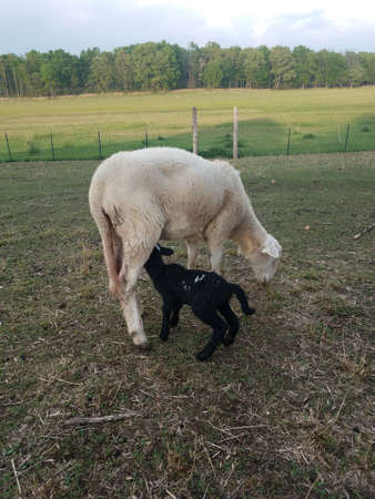Black Dorper Katahdin cross lamb nursing on white Katahdin ewe sheep Stock Photo