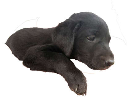 Isolated close-up of black Labrador retriever puppy dog