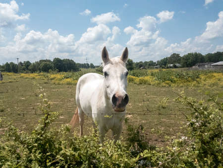 White horse with perked ears and flared nostrils standing at barbed wire fence