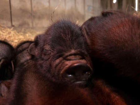 Closeup of sleeping American Guinea Hog piglet