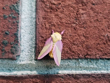Closeup of yellow bug with purple wings on brick wall