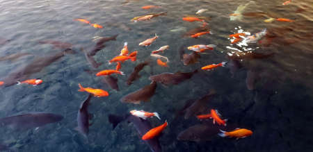School of black, orange, and white Koi fish swimming in pond