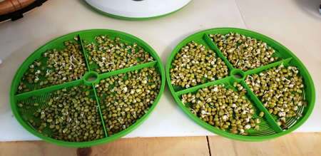 Sprouted Mung beans, beans sprouts in two green trays Stock Photo