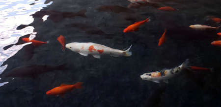 Two white Koi swimming surrounded by other carp fish