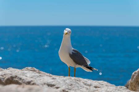 European herring gull (Larus argentatus)
