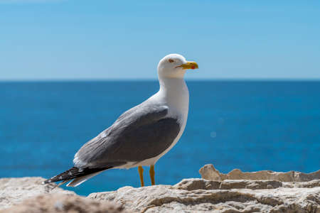 European herring gull Larus argentatus in Spain coast