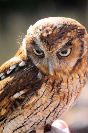 an assailant: Owl - Murutucu Stock Photo
