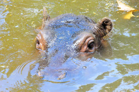 Hippo Peek Stock Photo - 15392140