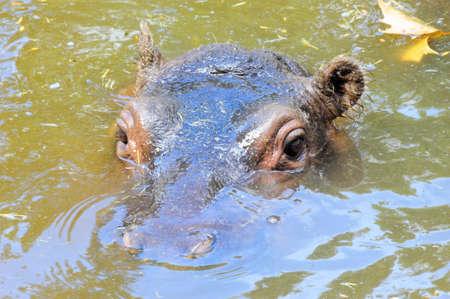 Hippo Peek Stock Photo - 15392140