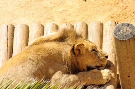 ccedil: Lion King Stock Photo