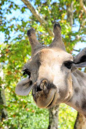 Smiling Giraffe Stock Photo - 15385216