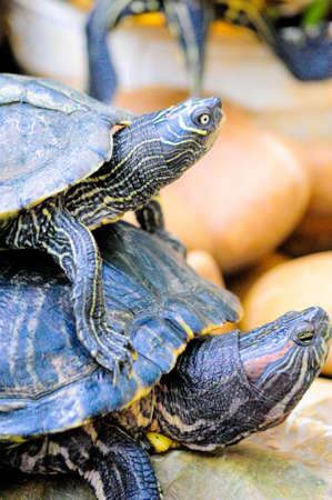 turtle couple Stock Photo - 15378899