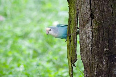 Blue Parakeet Stock Photo