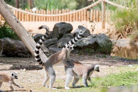 Playing Lemures