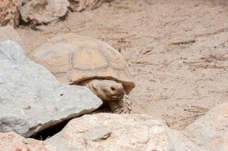 Hidden Turtle Stock Photo