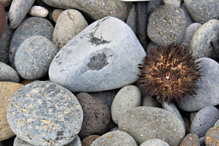 pilluelo: El erizo de mar Foto de archivo