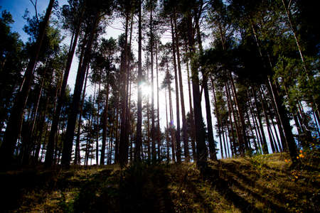hillside: Tall pine forest on hillside with sun background backlit Stock Photo