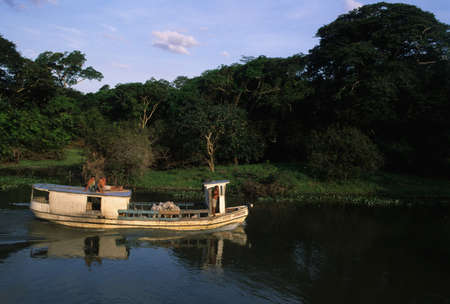 Transporting cattle by boat on the river Camutins. Camutins MARAJO ISLAND (Amazon). BRAZIL