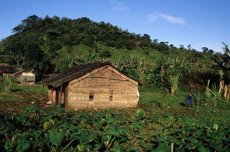 third world economy: EQUATORIAL GUINEA. South Bioko. MOCA ;  Malanga plantation.