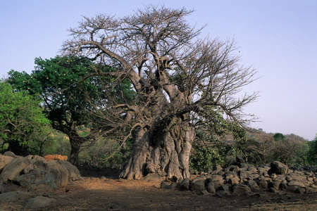 Sacred  Baobab Tree ( Monkey Bread  )  BEDIK ' Village of Iwol  '  Bassari COUNTRY  Tambacounda Region  SENEGAL.