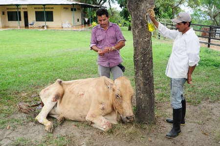 diseased: Attending sick cow in RIVERA . Department of Huila. COLOMBIA Editorial