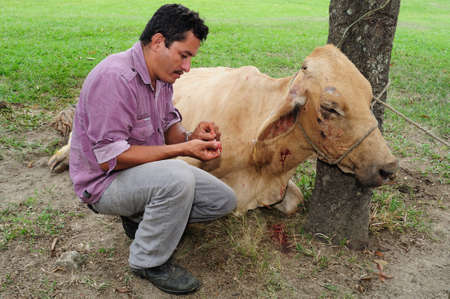 huila: Attending sick cow in RIVERA . Department of Huila. COLOMBIA Editorial