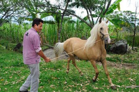 Paso fino horse in RIVERA . Department of Huila. COLOMBIA