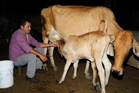 huila: Orde�ar vacas en Rivera. Departamento del Huila. COLOMBIA