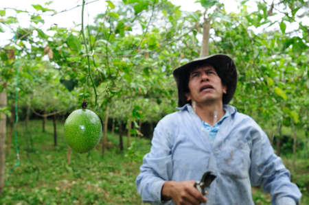 huila: Maracuja en RIVERA. Departamento del Huila. COLOMBIA Editorial
