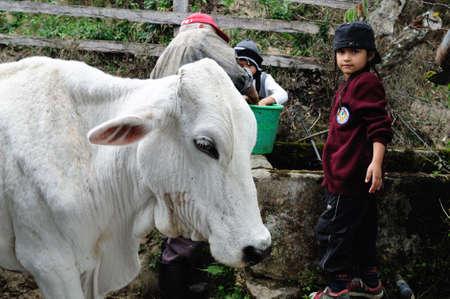 huila: Milking .Road - Aguas Calientes in RIVERA . Department of Huila. COLOMBIA
