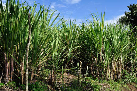azucar: Sugarcane plantation in ISNOS   SanAgustin    Department of Huila  COLOMBIA Stock Photo